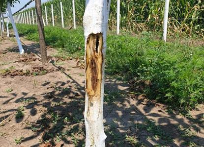 Zaražene sadnice oraha kupljene jeftino u Turskoj