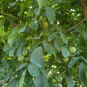 Kalifornijski način uzgajanja oraha
